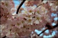 cherryblossom_thumb