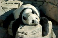 panda_thumb